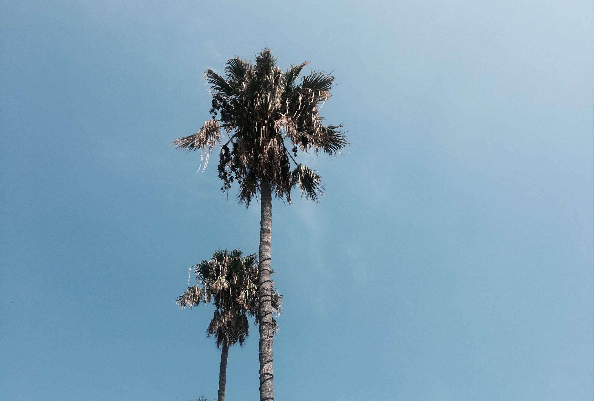 Kos, Griekenland, palmbomen
